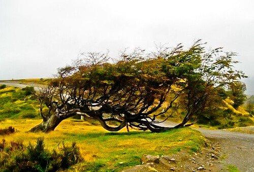 Flag Tree, Ushuaia, Tierra Del Fuego, Argentina