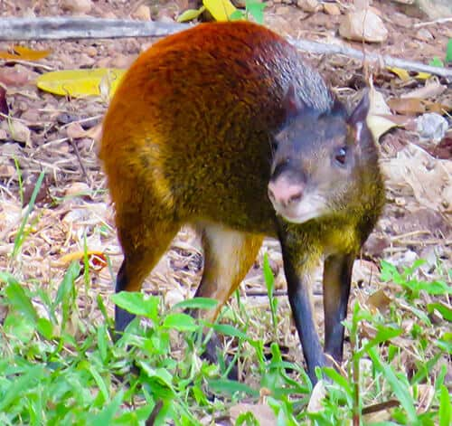 Agouti, Royal Island, French Guiana