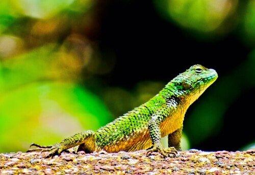 A lizard in Cerro Verde national park, El Salvador