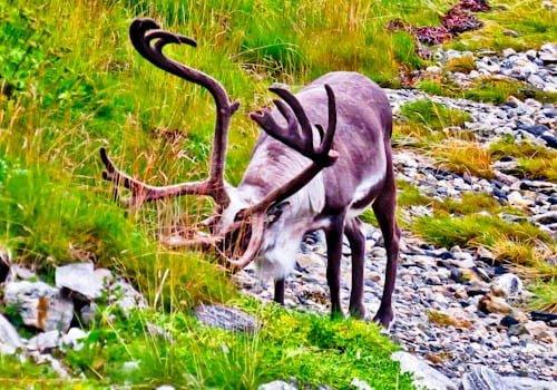 Things to do in Tromso - Reindeer Spotting