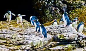 Rockhopper penguins, Falkland Islands