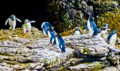Rockhopper penguins, Falkland Islands