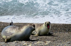 Elephant seals, Puerto Madryn