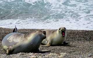 Elephant seals, Puerto Madryn