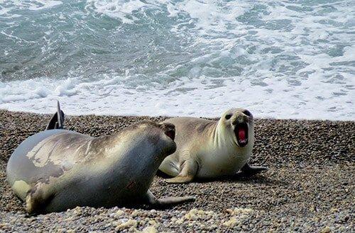 Puerto Madryn - Elephant seals, Valdes Peninsula