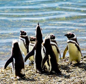 Magellanic penguins, Punta Loma