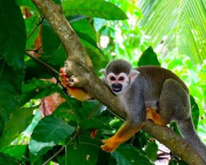 Squirrel Monkey (Saimiri sciureus), French Guiana