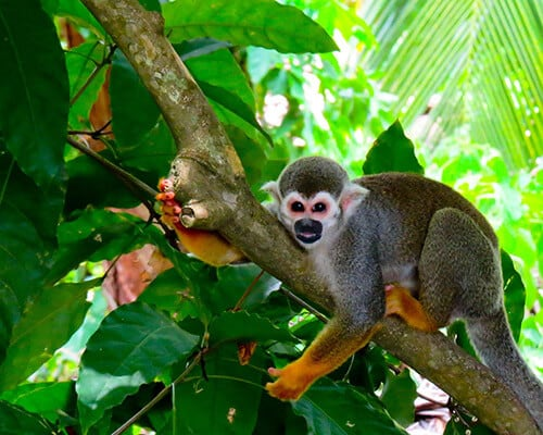 French Guiana, Iles du Salut, Squirrel Monkey (Saimiri sciureus)