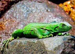 French Guiana, Iles du salut - Iguana