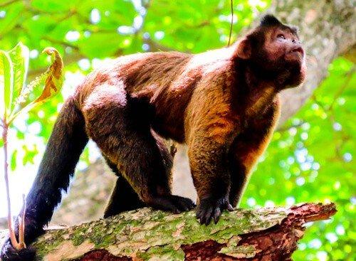 French Guiana, Iles du salut - Tufted capuchin