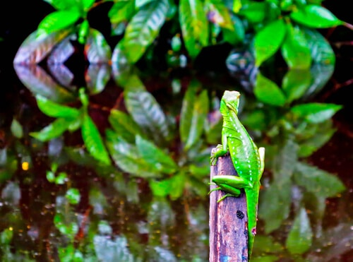 Things to do in San Jose Costa Rica - Tortuguero National Park - Jesus Christ Lizard - Basilisk