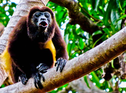 Granada Nicaragua - Howler monkey, Islets of Granada
