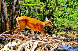 Wild Deer at Olympic National Park