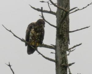 Golden Eagle in Alaska