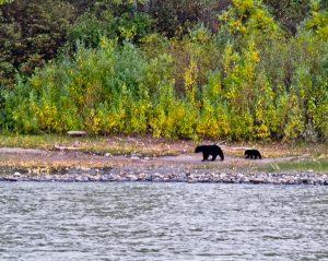 Black Bear in Denali National Park