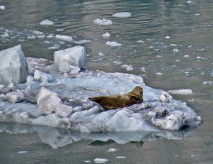 Sea Lion on an Iceberg in Alaska