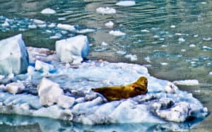 Sea Lion, Glacier Bay National Park