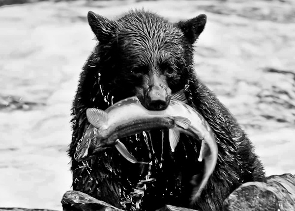 Black Bear Feeding on Salmon - Ketchikan Alaska