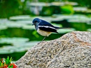 Birdwatching, Udon Thani