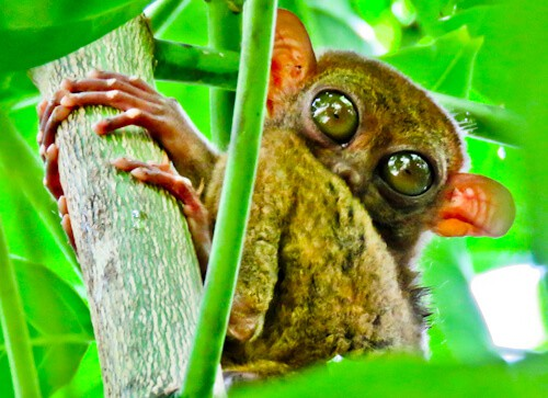 Tarsier – How to photograph the Philippine Tarsier