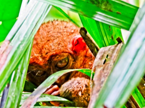 Tarsier - Bohol - How to photograph the Tarsier - habitat