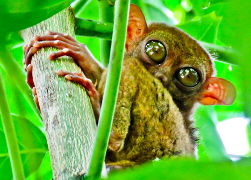 Tarsier - Bohol - How to photograph the Tarsier - time of day