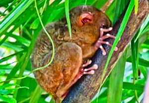 Tarsier - Bohol - How to photograph the Tarsier - Monkey