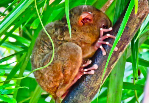 Tarsier - Bohol - How to photograph the Tarsier - Monkey