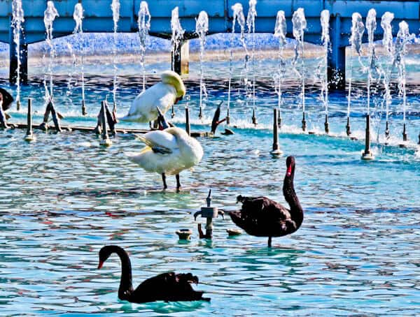 Things to do in Konya Turkey - Black Swans