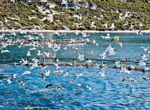 What to do in Zadar County Croatia - Tuna Feeding