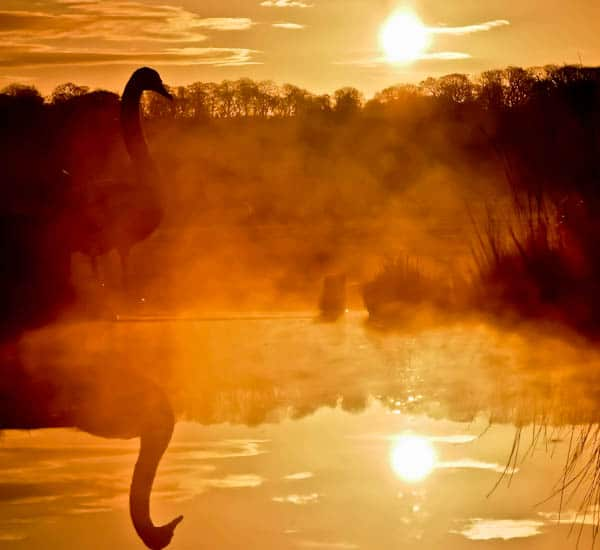 Contre Jour Swan Sunrise Reflection in the mist