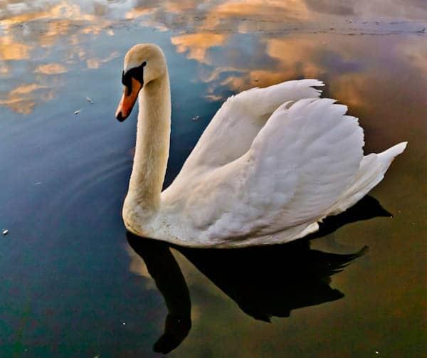 Swan Sunrise Reflection