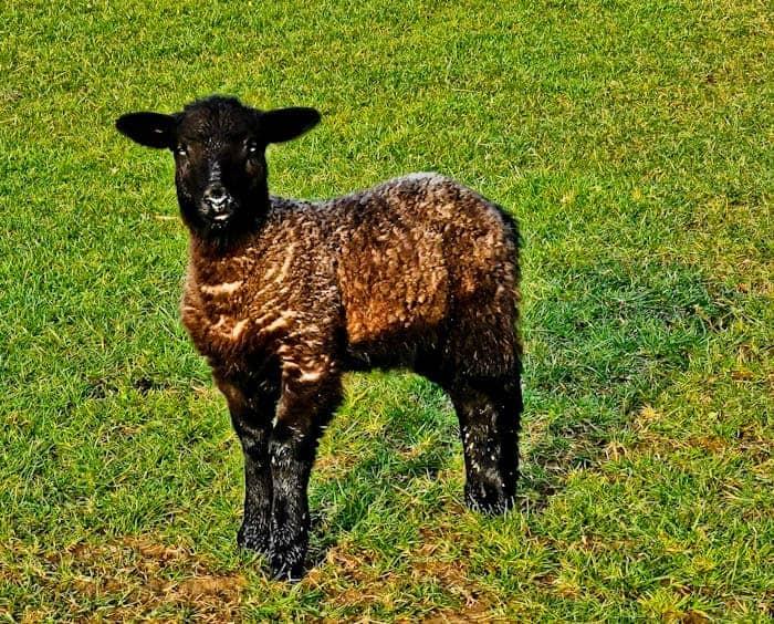 Spring Lamb in Yorkshire Dales