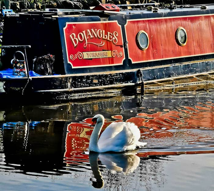 Swan on the Leeds Liverpool Canal