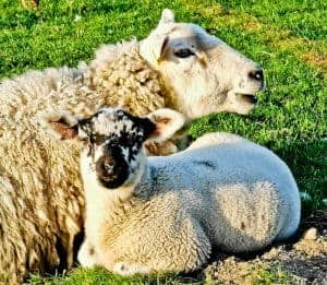 Sheep in Yorkshire