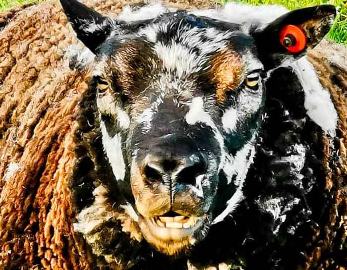 Black Sheep in Skipton