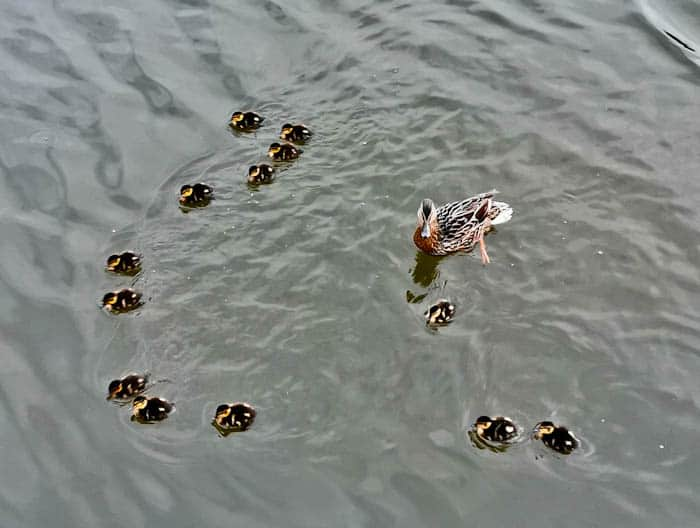 Ducklings in Skipton