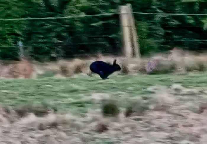 Black Rabbit in Yorkshire