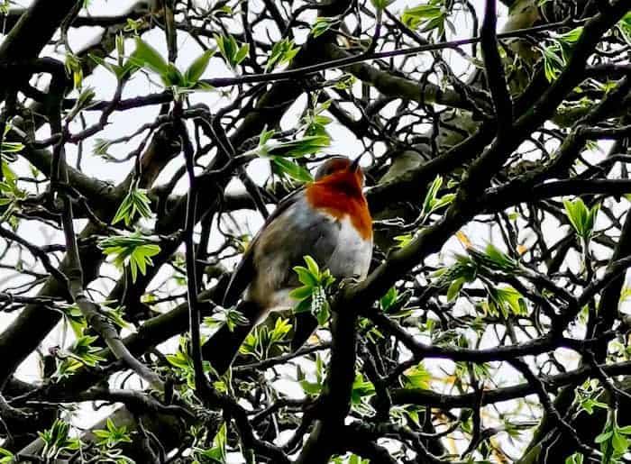 Robin in Yorkshire