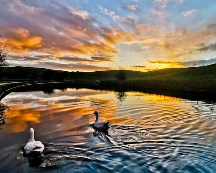 Geese at sunrise in the Yorkshire dales