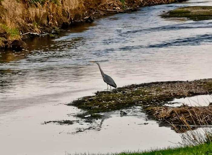 Heron on the River Aire