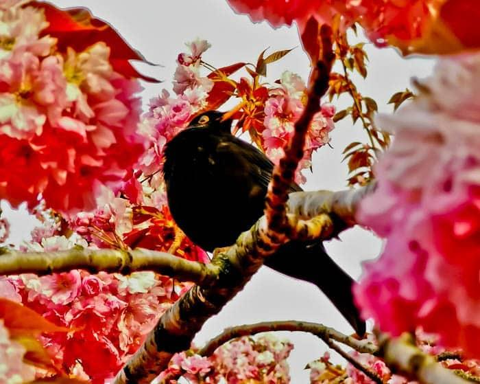 Blackbird in Yorkshire