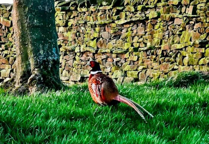 Pheasant in the Yorkshire Dales