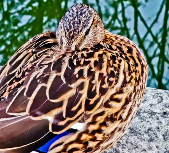 Female Mallard in the Yorkshire Dales