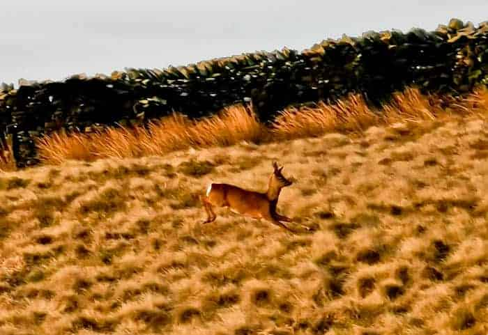 Deer in Yorkshire