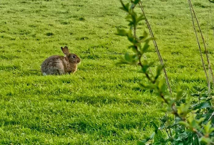Wild rabbit in Skipton
