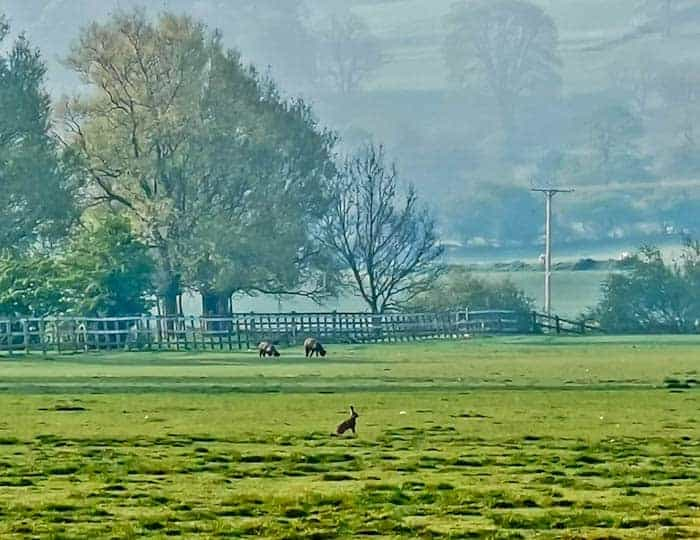 Hare in Skipton