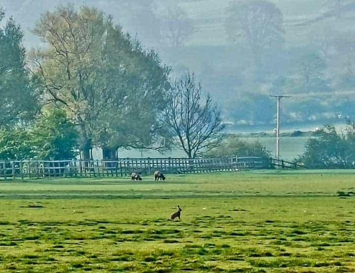 Hare in Skipton