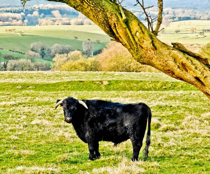 Aberdeen Angus Bull in Yorkshire Dales