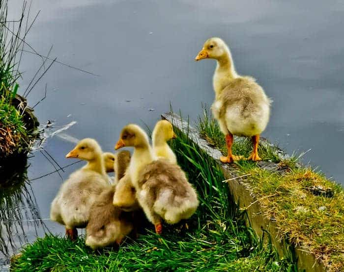 Goslings at Leeds Liverpool Canal